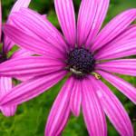 """pink purple flowers"" by shanmaree"