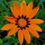 """Gallant Gazania"" by MidiMacroMan"