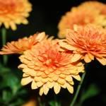 """Orange Mums"" by emolee84"
