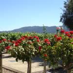 """Vineyard in Napa"" by DaniCaliGirl"