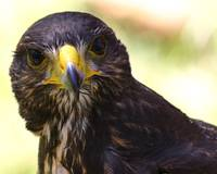 Curious Harris Hawk