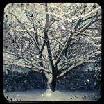 """winter cherry tree"" by adamgrahamphoto"