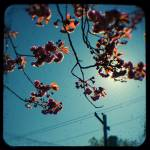 """cherry tree with powerlines"" by adamgrahamphoto"