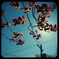 cherry tree with powerlines