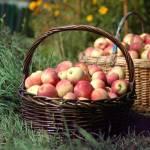 """""""apples in basket"""" by ada_uzie"""