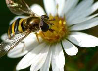 Hoverfly on a White Daisey