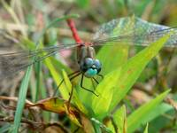 Blue-faced Meadowhawk I
