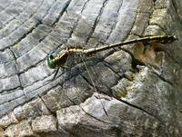 dragonfly on stump side view