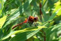 Firery Red Dragonfly