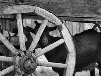 goat andwheel bw in farm yard
