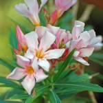 """St Thomas Light Pink Flower"" by roscoedv"