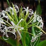 """St Thomas White Flower"" by roscoedv"