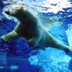 """Swimming Polar Bear"" by ryandonaldsonart"