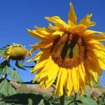 """""""Lombardi Ranch Sunflower"""" by denisebrownart"""