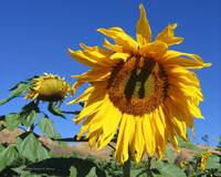 Lombardi Ranch Sunflower