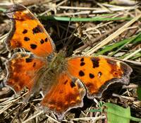 Grey Comma Butterfly