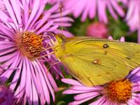 An Orange Sulphur Amongst the Purple Asters