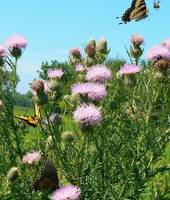 Butterflies on Thistle with a Bee