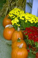 Fall Pumpkins and Chrysanthamums 8955