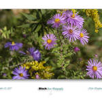 """new england aster"" by BlackStonePhotographyWV"