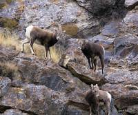 Bighorn Yearlings