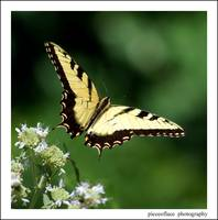 Eastern Tiger Swallowtail taking flight...
