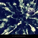 """""""Bokeh Lavender"""" by felipeclemente"""