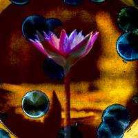 """Pink Water Lily Abstract on Gold"" by John Corney"