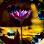 """Waterlily Abstract Photo 92651 vivid light"" by johncorney"