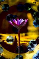 Waterlily Abstract Photo 92651 vivid light