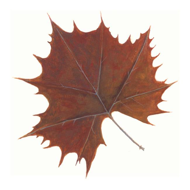 Brown Maple Leaf by Jennifer Woodworth Rochester NY