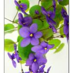"""African Violets"" by artisticexpressions"