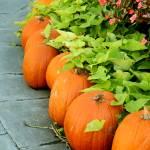 """Pumpkin Perimeter"" by rayjacque"