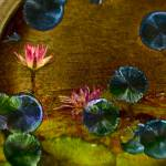 """Pink Waterlily"" by johncorney"