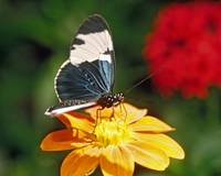 Blue & White Longwing Butterfly