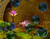Pink Waterlily on Gold Background