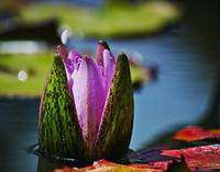 Pink Water Lily Bud