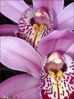 'Calling' Orchid Flowers