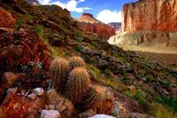 Grand Canyon Cacti