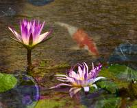 Koi with Waterlily