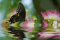 Reflections of a Spicebush Swallowtail