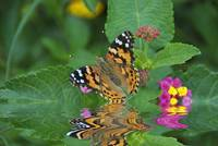Reflections of a Painted Lady
