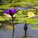 """Purple Waterlily and Bee"" by johncorney"