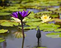 Purple Waterlily and Bee