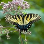 """Tiger Swallowtail on Joe Pye Weed"" by tricia"