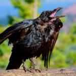 """""""Bryce Canyon Raven"""" by pauljowen"""