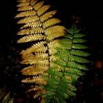 """""""Ferns"""" by bavosiphotoart"""