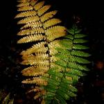 """Ferns"" by bavosiphotoart"