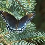 """Red-spotted Purple"" by tricia"