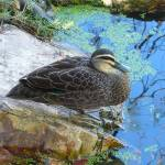 """duck at pond botanical garden Queensland Australia"" by shanmaree"